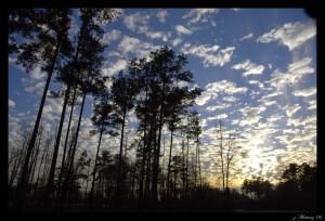 north carolina, pine trees, http://www.learnnc.org/lp/multimedia/9436