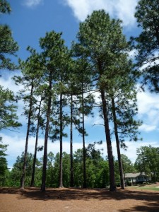 tall pines, photo