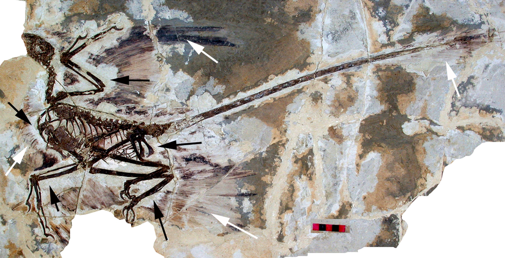 David W. E. Hone, Helmut Tischlinger, Xing Xu, Fucheng Zhang - Hone DWE, Tischlinger H, Xu X, Zhang F (2010) The Extent of the Preserved Feathers on the Four-Winged Dinosaur Microraptor gui under Ultraviolet Light. PLoS ONE 5(2): e9223. doi:10.1371/journal.pone.0009223, This file is licensed under the Creative Commons Attribution 2.5 Generic license.
