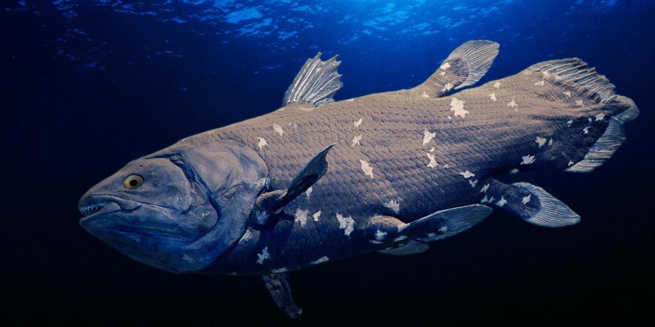 A coelacanth