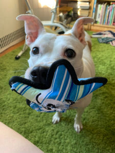 Kristen Gudsnuk's dog holds out a toy in its mouth